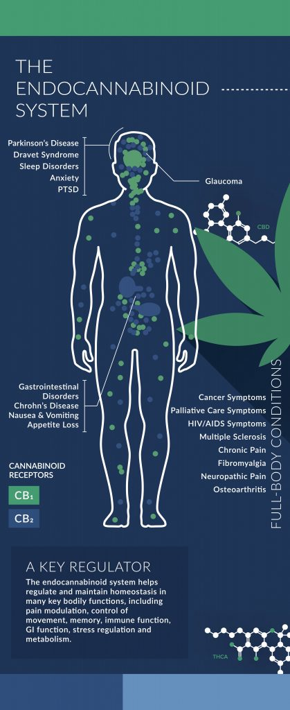 image for what is cbd article visualizing the human endocannabinoid system
