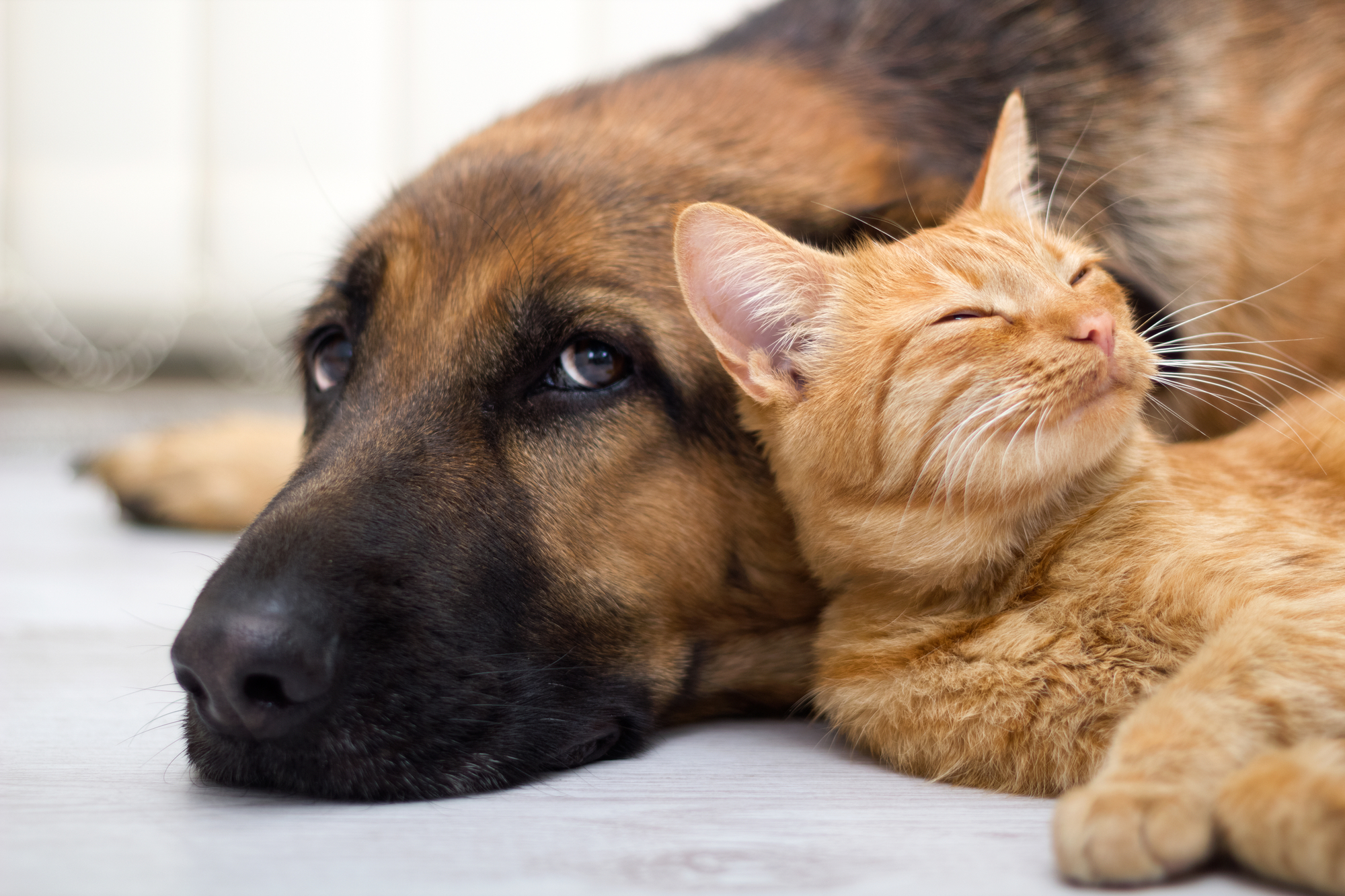 advertorial, implies cats and dogs get along better with CBD